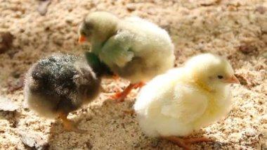 Newborn chicks — Stock Video