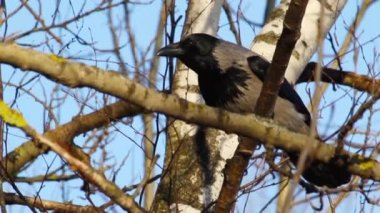 Crow sitting on a branch — Stock Video