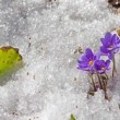 Royalty-Free Stock Vector Image: Melting snow and spring flowers , time-lapse