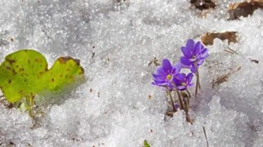 Melting snow and spring flowers , time-lapse — Stock Video