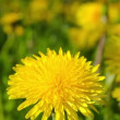 Dandelions, shooting slider, macro — Stock Video