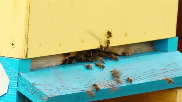 Mosca de las abejas en la colmena — Vídeo de stock