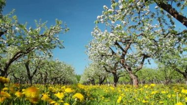 Blossoming apple orchard, shooting slider — Stock Video