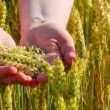 Ears of wheat in the hands — Stock Video