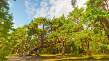 Sloping pine in the forest, timelapse — Stok video