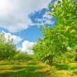 Apple orchard with ripe apples, timelapse — Stock Video