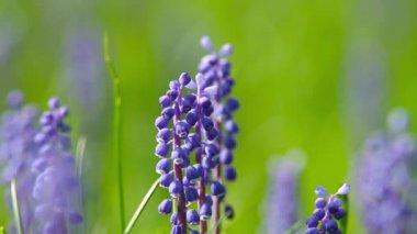 Mavi çiçekler çan çiçeği — Stok video