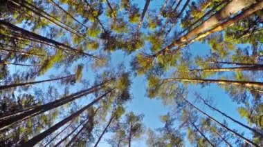 Pine bottom view — Stockvideo