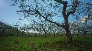 Spring apple garden with flowers and dandelions, timelapse — Stock Video