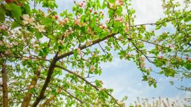 Apple tree with flowers, timelapse — Stok video