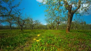 Spring apple garden with flowers and dandelions, timelapse — Stok video