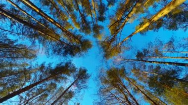 Pine trees swaying in the wind, bottom view — Stock Video