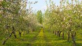Blommande äppelträdgård — Stockfoto