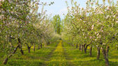 Blossoming apple orchard — Stock Photo