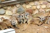 Meerkats. — Stock Photo