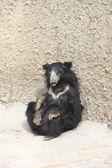 Asiatic black bear. — Stock Photo