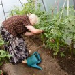 The old woman in a hothouse at bushes of tomatoes — Photo