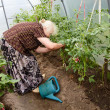 The old woman in a hothouse at bushes of tomatoes — Stock fotografie