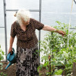 The old woman in a hothouse at bushes of tomatoes - Stock Photo