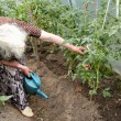 The old woman in a hothouse at bushes of tomatoes - Stockfoto