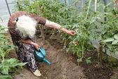 Старая женщина в теплице на кусты помидоров — Стоковое фото