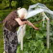The old woman in a hothouse at bushes of Cucumbers - Stock Photo