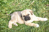 Puppy of the Spanish mastiff in the afternoon on the nature — ストック写真