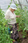The old woman in a hothouse waters tomatoes — Stock Photo