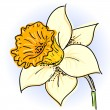 Daffodil (narcissus ) — Stockvectorbeeld