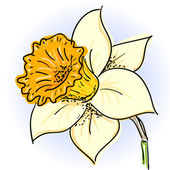 Daffodil (narcissus ) — Vector de stock