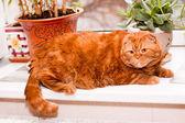 Scottish fold cat — Стоковое фото
