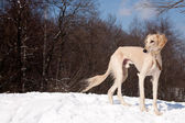 Standing saluki — Stock Photo