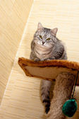 Crey tabby cat — Stock Photo