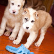 Standing puppies — Stock Photo