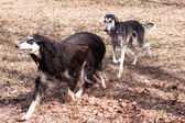 Two oriental hounds — Stock Photo