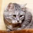Crey tabby cat — Stock Photo #19943173