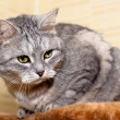 Crey tabby cat — Stock Photo #21301413