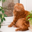 scottish fold cat — Stock Photo