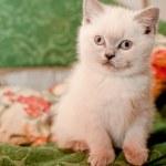 White kitten — Stock Photo #21811437