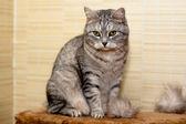 Crey tabby cat — Stock Photo