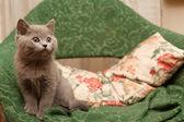 Grey kitten — Stock Photo