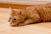Ginger tabby cat — Stock Photo