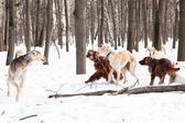 Five dogs meeting — Stock Photo