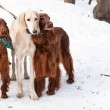 Three dogs standing — Stockfoto #39725793