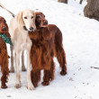 Three dogs standing — Foto Stock #39725793
