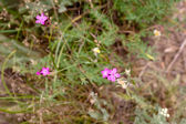 Pink wildflowers — Stock Photo