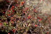 Baies d'automne rouge — Photo