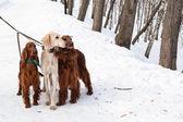 Trzy psy stały — Zdjęcie stockowe
