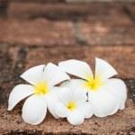 Frangipani (plumeria) flowers — Stock Photo #13335771