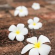 Frangipani (plumeria) flowers on stones — Stock Photo